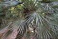 Arecales - Livistona sp. 2.jpg