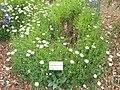 Argyranthemum frutescens - University of California Botanical Garden - DSC08942.JPG