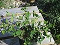Aristolochia paucinervis (17311889269).jpg