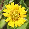 Arnica unalascensis var. tschonoskyi (flower).JPG