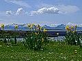 Arran with Daffodils - panoramio.jpg