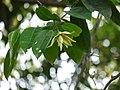 Artabotrys zeylanicus Hook.f. & Thomson (30255982515).jpg