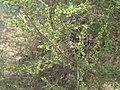 Artemisia campestris 11.JPG