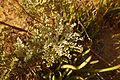 Artemisia gallica60013.jpg