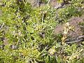 Artemisia spinescens (3765910874).jpg