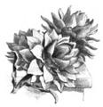 Artichaut gros vert de Laon Vilmorin-Andrieux 1883.png