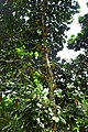Artocarpus heterophyllus à São Tomé (1).jpg