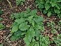 Arum maculatum 117511904.jpg