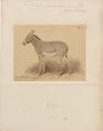 Asinus taeniopus - 1885 - Print - Iconographia Zoologica - Special Collections University of Amsterdam - UBA01 IZA1000550.tif