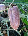 Astragalus aequalis 4.jpg
