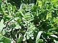 Astragalus alpinus (6120963818).jpg