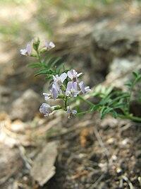 Astragalus austriacus 2009.05.24