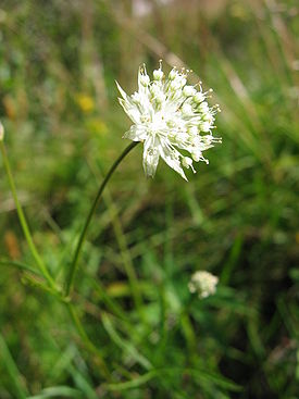 Astrantia minor