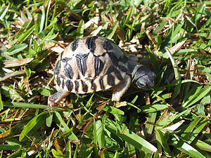 Radiated tortoise - A seven-day-old tortoise