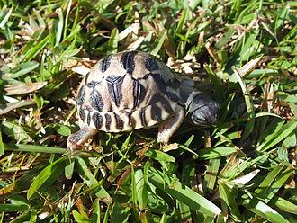 Radiated tortoise - A seven-day-old tortoise