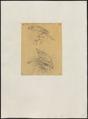 Astur sulaënsis - 1863-1876 - Print - Iconographia Zoologica - Special Collections University of Amsterdam - UBA01 IZ18300135.tif