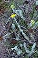 Athanasia trifurcata (Asteraceae) (4582073292).jpg