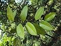 Atlantia monophylla 03.JPG