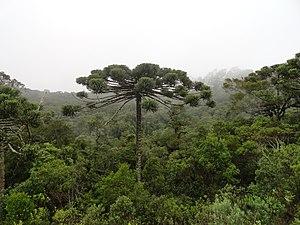 Campos do Jordão - Brazilian Paraná pine (''Araucaria angustifolia'') and local Atlantic Forest habitat, in Campos do Jordão municipality.