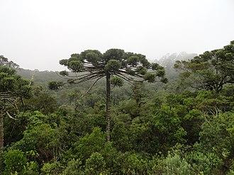 Campos do Jordão - Brazilian Paraná pine (Araucaria angustifolia) and local Atlantic Forest habitat, in Campos do Jordão municipality.