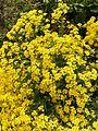 Aurinia saxatilis 2477.jpg