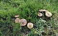 Autumn Mushrooms - panoramio.jpg