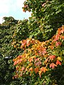 Autumn leaves by the A449, Wall Heath - geograph.org.uk - 984864.jpg