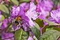 Azalea with Bumble Bee 2 (25749837483).jpg