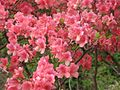 Azaleas on Mount Guifengshan in Macheng City, Huanggang, Hubei 29.jpeg