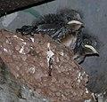 Baby Barn Swallows (7269671206).jpg