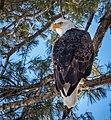 Bald Eagle (24665816619).jpg