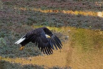 Princeton Ice Company - Image: Bald Eagle in flight at Mountain Lakes Preserve