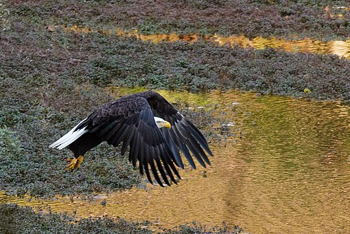 Bald Eagle in flight at Mountain Lakes Preserve