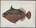 Balistes conspicillum - 1700-1880 - Print - Iconographia Zoologica - Special Collections University of Amsterdam - UBA01 IZ15400055.tif
