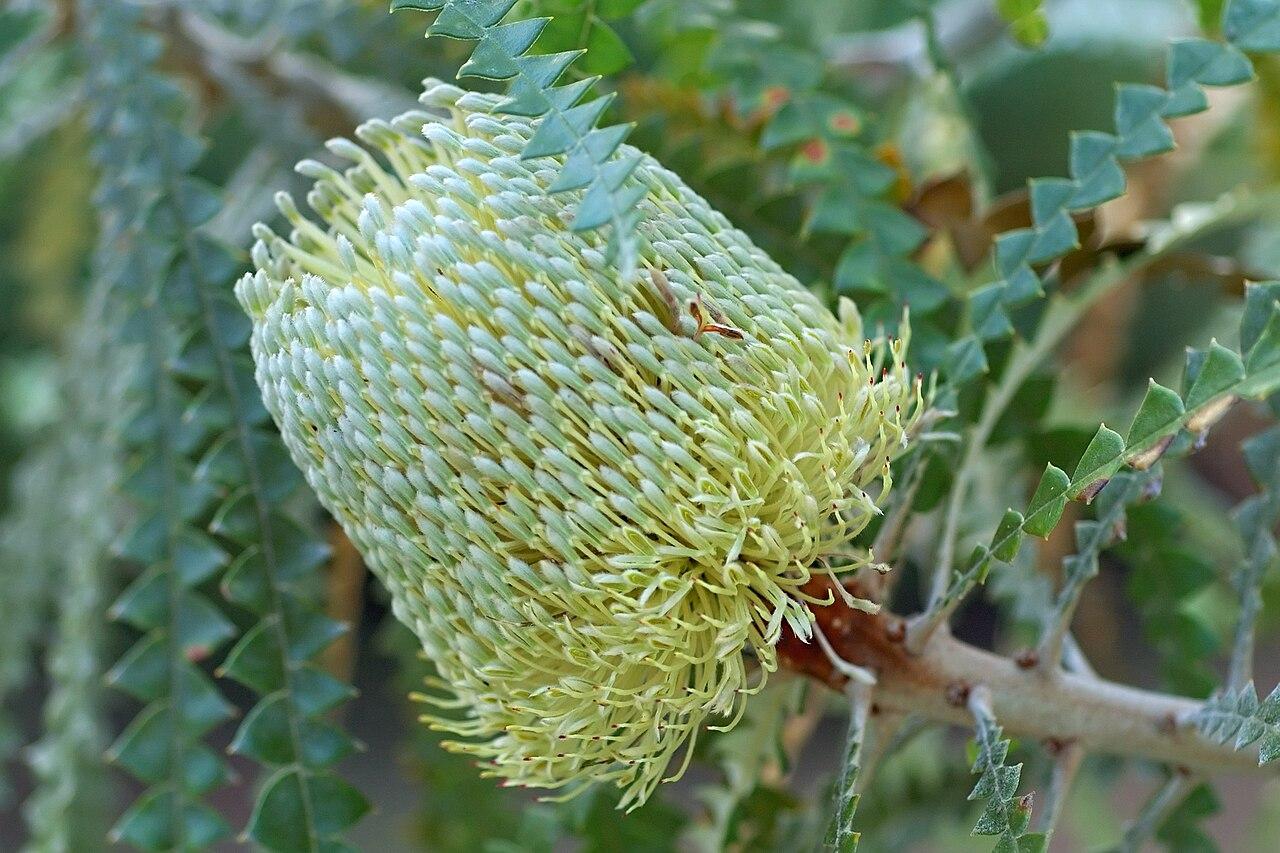 File Banksia Speciosa San Francisco Botanical