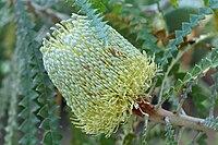 Banksia speciosa - San Francisco Botanical Garden.jpg