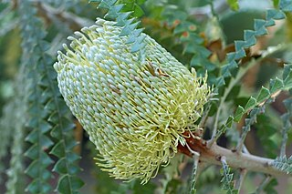 <i>Banksia speciosa</i> A large shrub or small tree in the family Proteaceae found on the south coast of Western Australia