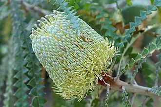 Banksia speciosa - Banksia speciosa inflorescence