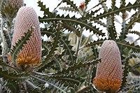 Banksia victoriae - Woolly Orange Banksia-6.JPG