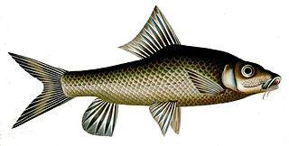 Humpback mahseer Species of fish