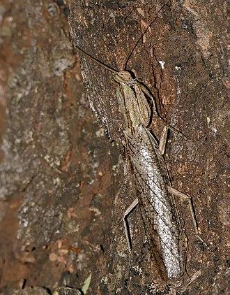Tarachodidae - Tarachodes sp.
