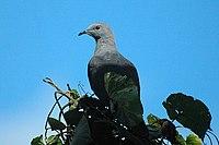 Barkingpigeon2