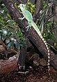 Basiliscus plumifrons Dvur zoo 2.jpg