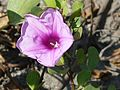Beach Morning-glory (2223042766).jpg