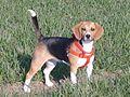 Beagle Tricolor Jessie.jpg