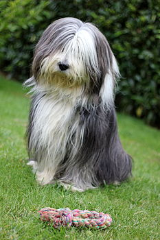 Bearded collie and a rope.jpg