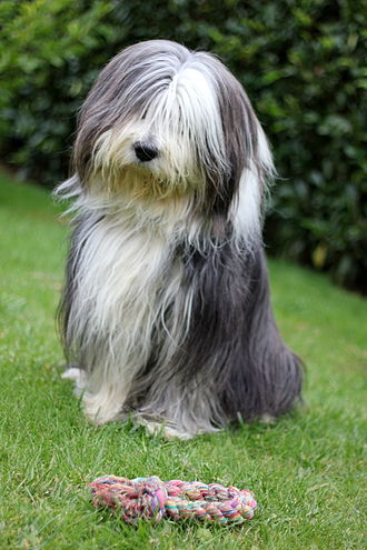Bearded Collie - A Bearded Collie with a toy rope.