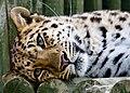 Beautiful Leopard (2483459590).jpg