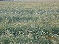 Beautiful Ranch of Porbandar Raju Odedra Mo . . . 07698787895 - panoramio (6).jpg