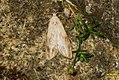 Bee moth (BG) (15154244036).jpg